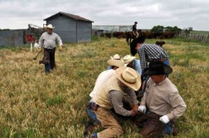 A branding crew at work on the M-Cross Ranch.