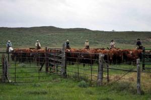 Bonsmara herd